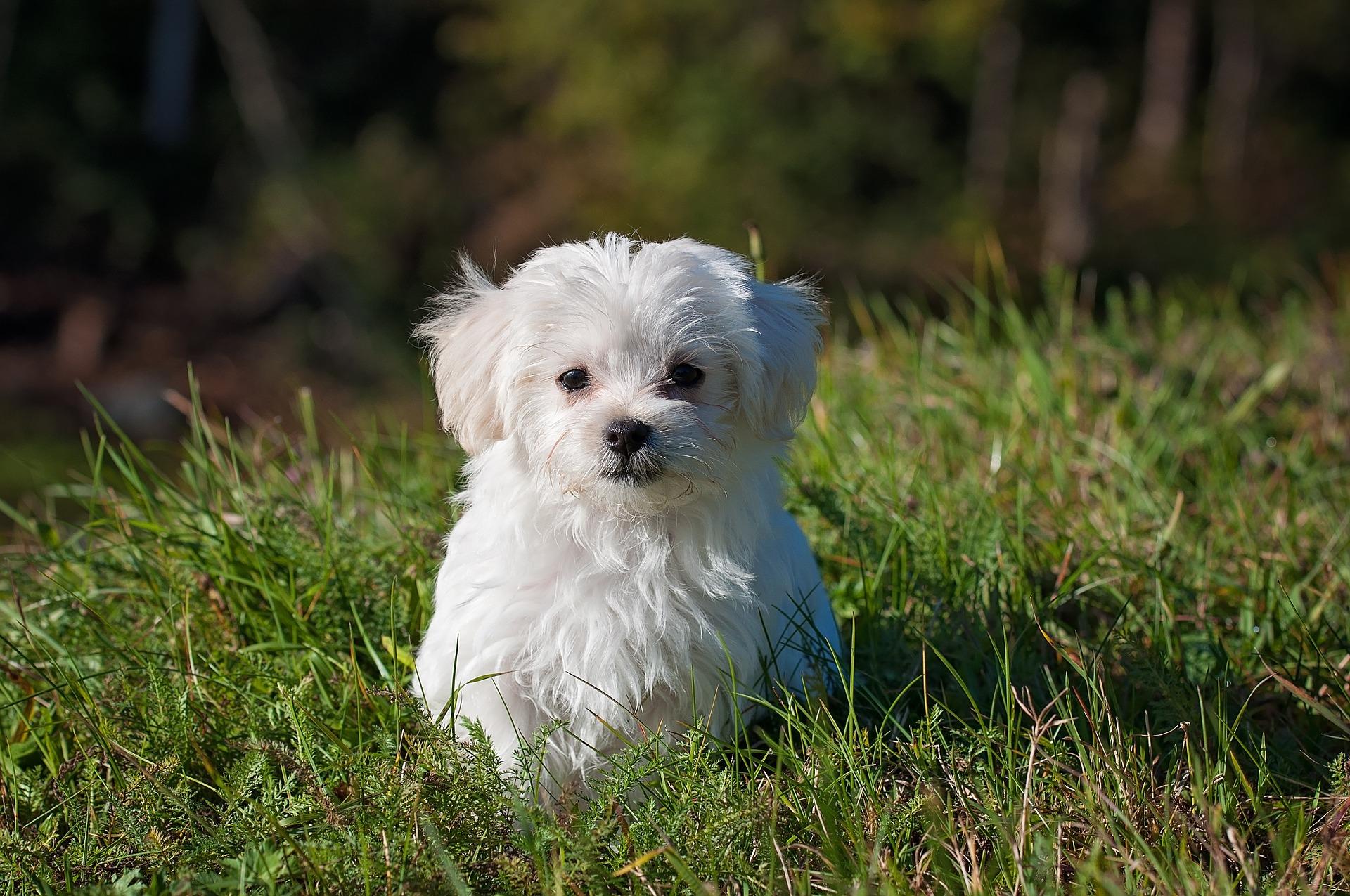 malý pes